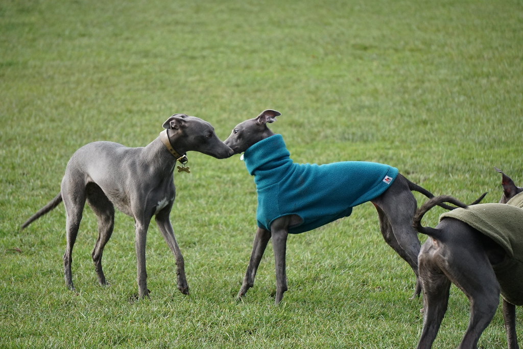 Whippet Dog Rescue Victoria