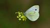 Pieris pseudorapae (KOMSIS) Tags: kelebek butterfly schmetterlinge motyl motýlů motýlech motýl motýľ mariposa papillon päiväperhonen perhonen borboleta conbướm fjärilar fiðrildi féileacán farfalle bábochka бабочка kəpənək көбелек лептир пеперутка πεταλούδα leptir vlinder animal animalia arthropoda insecta lepidoptera pieridae pieris pseudorapae false cabbage white yalancıbeyazmelek insect macro minimalism antenne outdoor serene field wildlife blossom plant pattern texture visipix ngc buzznbugz wow nikon nikondigital sigma 150mm os colors colorful bright beautiful brilliant catchycolors