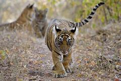 ADS_0000115964 (dickysingh) Tags: tigers cubs family noor wild wildlife bigcats ranthambore ranthambhorenationalpark
