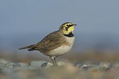 Shore Lark (Horned Lark) (J J McHale) Tags: bird lark nature wildlife wing eremophilaalpestris hornedlark shorelark