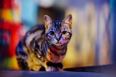 UT (Tridentz | 侘等時) Tags: cat cats meow portrait hong kong sony a7 alpha alpha7 fe gm g master gm85 f14 night neko 85mm bokeh animal eyes eye lovely cute ねこ ネコ 猫 貓 14 wide open fe85 景深