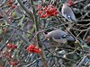 Waxwing contortion (robin denton) Tags: waxwing bird nature yorkshirewildlifetrust yorkshire york bombycillagarrulus winter berries tree