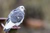 Sur un pylône - On a pylon (bboozoo) Tags: wildlife nature pigeon bokeh canon6d tamron150600 pylône pylon