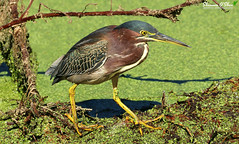 From the slime to the ridiculous is but a step. (Shannon Rose O'Shea) Tags: shannonroseoshea shannonosheawildlifephotography shannonoshea shannon greenheron heron bird beak feathers birdyfeet yellowfeet yellowlegs yelloweye colorful duckweed green nature wildlife waterfowl outdoors outdoor circlebbarreserve lakeland florida flickr wwwflickrcomphotosshannonroseoshea fauna canon canoneos80d canon80d eos80d 80d canon100400mm14556lisiiusm feet shadows shadow