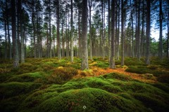Soft and Strong (Augmented Reality Images (Getty Contributor)) Tags: bracketedexposure canon forest hdr landscape leefilters longexposure moss nature perthshire pinetrees scotland trees winter woodland