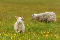 For those who can't wait for spring to arrive :)) (Renate van den Boom) Tags: 07juli 2016 europa grootbrittannië jaar maand renatevandenboom schaap shetland unst zoogdieren