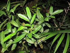 Aglaia yzermannii (reuben.lim) Tags: aglaia yzermannii aglaiayzermannii meliaceae