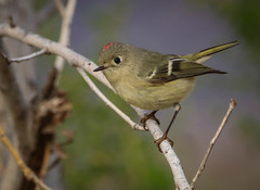 Ruby-crowned Kinglet tiny and fast Legacy Park Malibu 064 (pekabo90401) Tags: rubycrownedkinglet kinglet legacyparkbirds legacyparkmalibu malibubirds southerncaliforniabirds canon canon80d camaraderie friendship birdwatching birdwatchinglosangeles lightroom roiteletàcouronnerubis reyezueloderojo reyezuelomonicolorado reyezuelodecoronillacolorado reyezuelo parkmonkey reguluscalendula chimhồngtước امیر царек キングレット 소왕 roitelet königlet 100400 80d tinyandfast tinybird yellowfeet