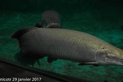 arapaima: collision (nicotr) Tags: 20170129 arapaima poisson zoo