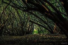 The Road to El Dorado (msombrita) Tags: msartsphotography puerto rico nature tree green brown leaf road mangrove swamp manglar fajardo sunset