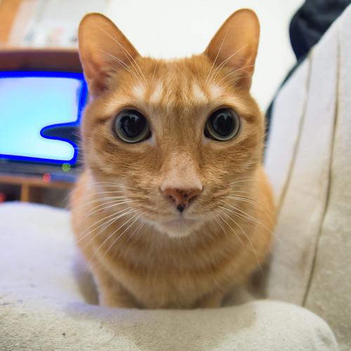 朋友家的小黃貓