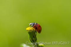 "Close up of 7-spot Ladybird ( Coccinella septempunctata) (I'll catch up with you later...) Tags: nikond610fx rertug ""nikonflickraward"" nikon60mmf28 macro ladybird ladybug insect"