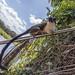 Geoffroy's tamarin monkey - wild titi monkeys gamboa panama pandemonio 2017 - 18