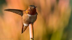 Right Turn... (Wideangle55) Tags: 600mm handheld wideangle55 nikon d800 colors birds laarboretum hummingbird hb