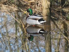 Oi,you're standing on me. (dave p brecks) Tags: birds mallard day day74 reflections olympus75300 olympusem5markii