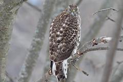 Autour des palombes_IMG_0020v2 (d.jauvin) Tags: épervier autour rapace québec autourdespalombes northerngoshawk accipitergentilis