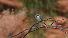 Sacred Kingfisher (Byron Taylor) Tags: diamonddove sacredkingfisher kingfisher dove wildlife birds nature wildfowl australia northernterritory nt canon canon7d