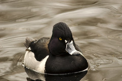 20170312 Ring-necked Duck