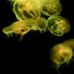 Sea Live - Timmendorfer Strand (noise-fotografie.de) Tags: color colour germany deutschland aquarium tiere thringen sealife location thuringia gelb land orte region farbe schleswigholstein farben ort qualle timmendorferstrand unterwasserwelt zellamehlis meeresaquarium erlebnispark urlaub2015