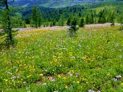7-099 (Gnarlene) Tags: flower hiking banff healypass monarchramparts