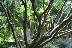Acer Palmatum - Japenese Maple (Christopher Alberti) Tags: tree maple outdoor arboretum acer jc palmatum japenese raulston jcraulstonarboretum