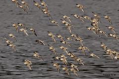 Correlimos volando (Teresa_GM) Tags: water fly agua corua flock aves galicia vuelo limcolas radoburgo bandada correlimos
