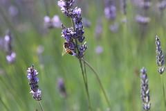 IMG_2297 (vessle) Tags: bee honeybee beemacro