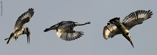 Pied Kingfisher, Martin-pêcheur pie (Ceryle rudis) - So-Ava, BENIN - 2012-12-10