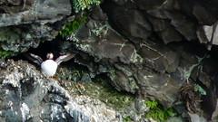 Puffin (Winterjasmin) Tags: island iceland puffin felsen papageientaucher