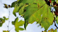 Big leaf, Autumn begins, Depth of field, Canterac park, Valladolid, Spain (Fco. Javier Cid) Tags: spain depthoffield valladolid bigleaf autumnbegins canteracpark