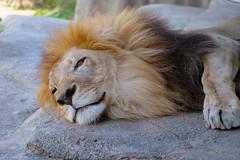 Tired Lion (lisagade) Tags: lion sleepy zoo