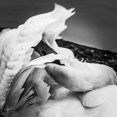 Preen (elizunseelie) Tags: park wild white black bird water up birds photoshop square scotland bill swan wings close pentax head glasgow wildlife grain wing beak feathers preening feather scottish twist victoria pale grooming express dslr vignette avian edit preen lightroom ipad contort