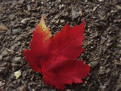 How the mighty have fallen (MissyPenny) Tags: autumn red leaf pennsylvania seasonal southeasternpa