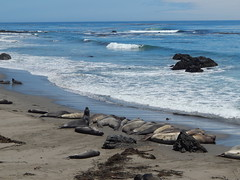 DSCN1963 (ely33150) Tags: california light sky sun elephant water sunshine rocky wave seal seals tons