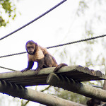 Capuchin monkey thumbnail