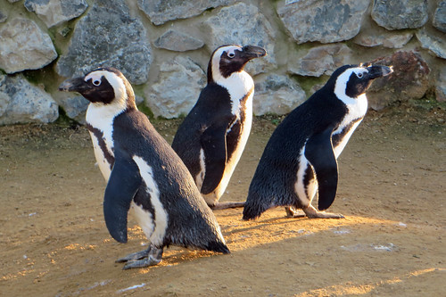 Penguins at Banham Zoo
