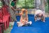 IMG_5380 (iskconmonk) Tags: festival prabhupada swami kartik prabhu brahmananda vrindavan iskcon swamiji sanyasi goshala iskconvrindavan