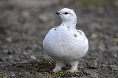 Rjúpa - Rock Ptarmigan - Lagopus muta (oskar.sigurmundason) Tags: birds rock island iceland nikon ngc birding sigma national ptarmigan geographic muta rjúpa lagopus d7000 150600