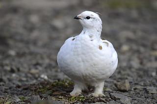 Rjúpa - Rock Ptarmigan - Lagopus muta