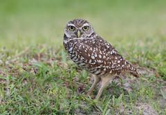 Burrowing Owl (ashockenberry) Tags: