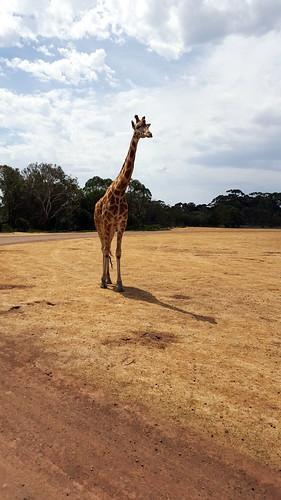 A curious giraffe approaches our bus