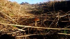 Champignon de la Merde (Nelis Zevensloot) Tags: nationalpark veluwezoom natuurmonumenten rheden velp rozendaal worthrheden rhederheide nationaalparkdeveluwezoom