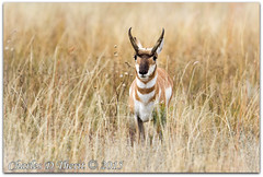 Pronghorn (Antilocapra americana) Male (ctofcsco) Tags: 12000 32 400mm 7d 7dclassic 7dmark1 7dmarki black brown canon colorado coloradosprings ef400mmf28liiusm eos7d explore f32 field grass nature pronghorn supertelephoto tallgrass telephoto unitedstates usa white wildlife yellow geo:lat=3890144124 geo:lon=10463599929 geotagged shirley animal outdoor wild freerange brush ngc topawardersl1 best wonderful perfect fabulous great photo pic picture image photograph