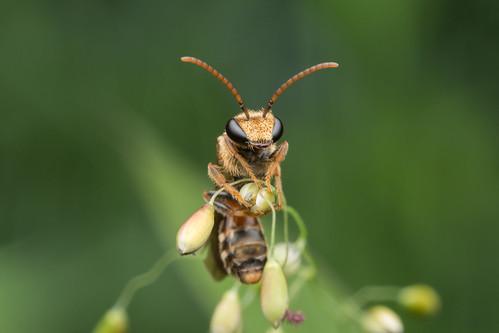 Halictidae. Lipotriches ceratina (Smith, 1857).
