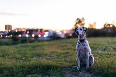 Pitis (Leo Hidalgo (@yompyz)) Tags: sunset dog love film animal canon atardecer photography eos 50mm reflex afternoon random cam like sigma dslr dalmatian 6d fotografa dlmata vsco ileohidalgo yompyz