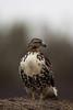 South Dakota Luxury Pheasant Hunt - Gettysburg 75