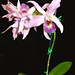 Bill's orchid