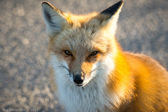Red Fox at IBSP - 14 (RGL_Photography) Tags: us newjersey unitedstates wildlife fox jerseyshore oceancounty mothernature ibsp redfox vulpesvulpes carnivora islandbeachstatepark berkeleytownship barnegatpeninsula nikond610 tamronsp150600mmf563divcusd