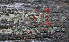 british soldier lichen (sara_rall) Tags: lichen cladonia britishsoldiers