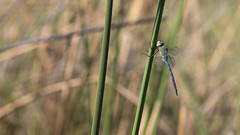 20151109_Shinde_0306.jpg (eLiL1860) Tags: dragonfly botswana okavango tierwelt safari2015